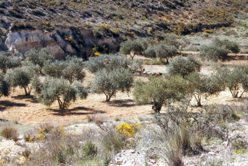 Los olivos de la finca